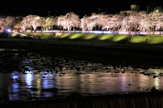 馬見ヶ崎さくらライン夜桜1(Night cherry blossoms on Mamigasaki Sakura Street 1)